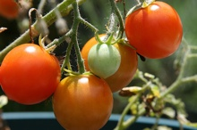 My-Tomatoes